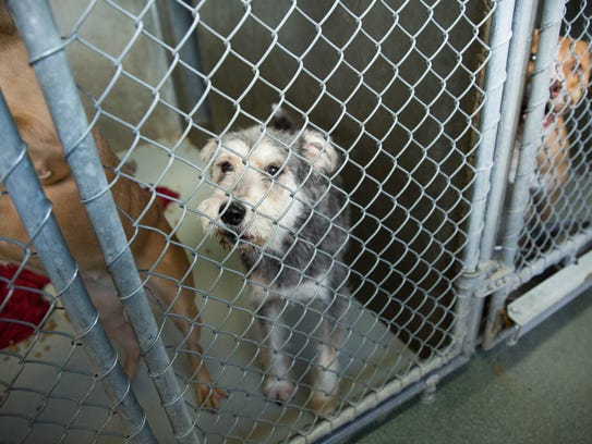 A mixed-breed dog looks out from its kennel at the