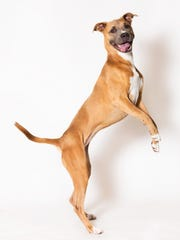 Say hello to Honey, a lively gal with good looks inside and out! Her vibrant, energetic personality is sure to win you over. You can meet Honey any day of the week at Nevada Humane Society, located at 2825 Longley Lane in Reno.