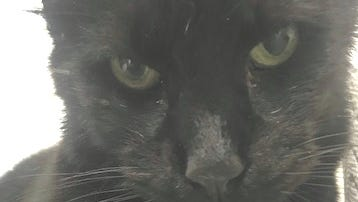 Cain is a male black cat, with highlights of brown in his fur. He wasfound as a stray and is estimated to be about a year-and-a half tothree years old. He is a friendly, affectionate cat who seems to likedogs.To adopt Cain, call 425-4825 or (347) 244-2477 or visitwww.dogsncats.petfinder.org to see other Louis Animal Foundationanimals available for adoption.