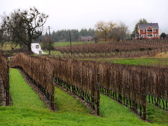 Pinot noir vines at Adelsheim Vineyard in Newberg.