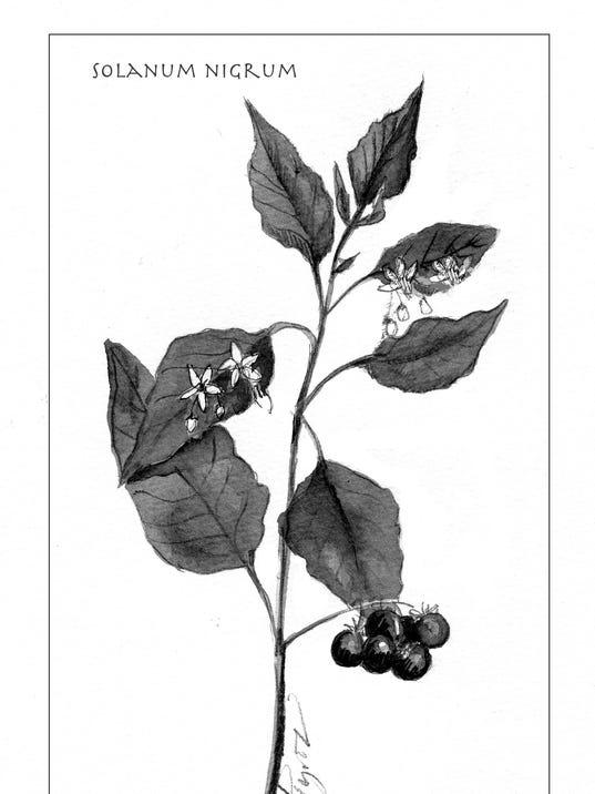 636095388886070053-TOS-Solanum-nigrum.jpg