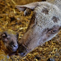 A ewe cleans up one of two lambs she had just delivered on the Warner Ranch south of Fort Shaw. The market for lamb meet and wool is expected to be good again in 2014, according to industry experts. BRETT BYERS/FOR THE TRIBUNE.