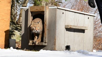 The New Jersey Division of Fish and Wildlife released into the wild a young bobcat that had been rehabilitated from a serious leg injury after being struck by a car late last year in Passaic County. The bobcat's release took place at Waywayanda State Park in Passaic County following months of rehabilitation at the Woodlands Wildlife Refuge in Hunterdon County.