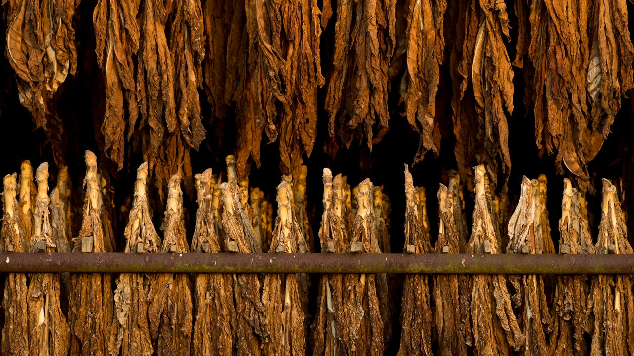 Two straight years of too much rain and stunted crops created the need for a bumper crop of burley and dark tobacco at Thurby Farms in Cairo, Ky. The five-generation outfit got just that.
