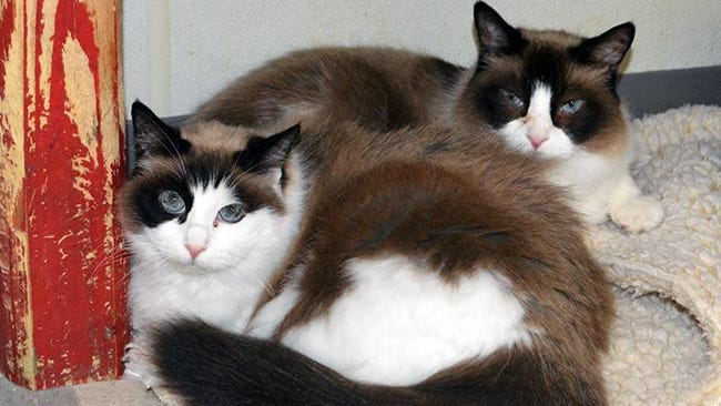 Bandit and Kally, 10-year-old Siamese- ragdoll mixes, are very sweet and loving.