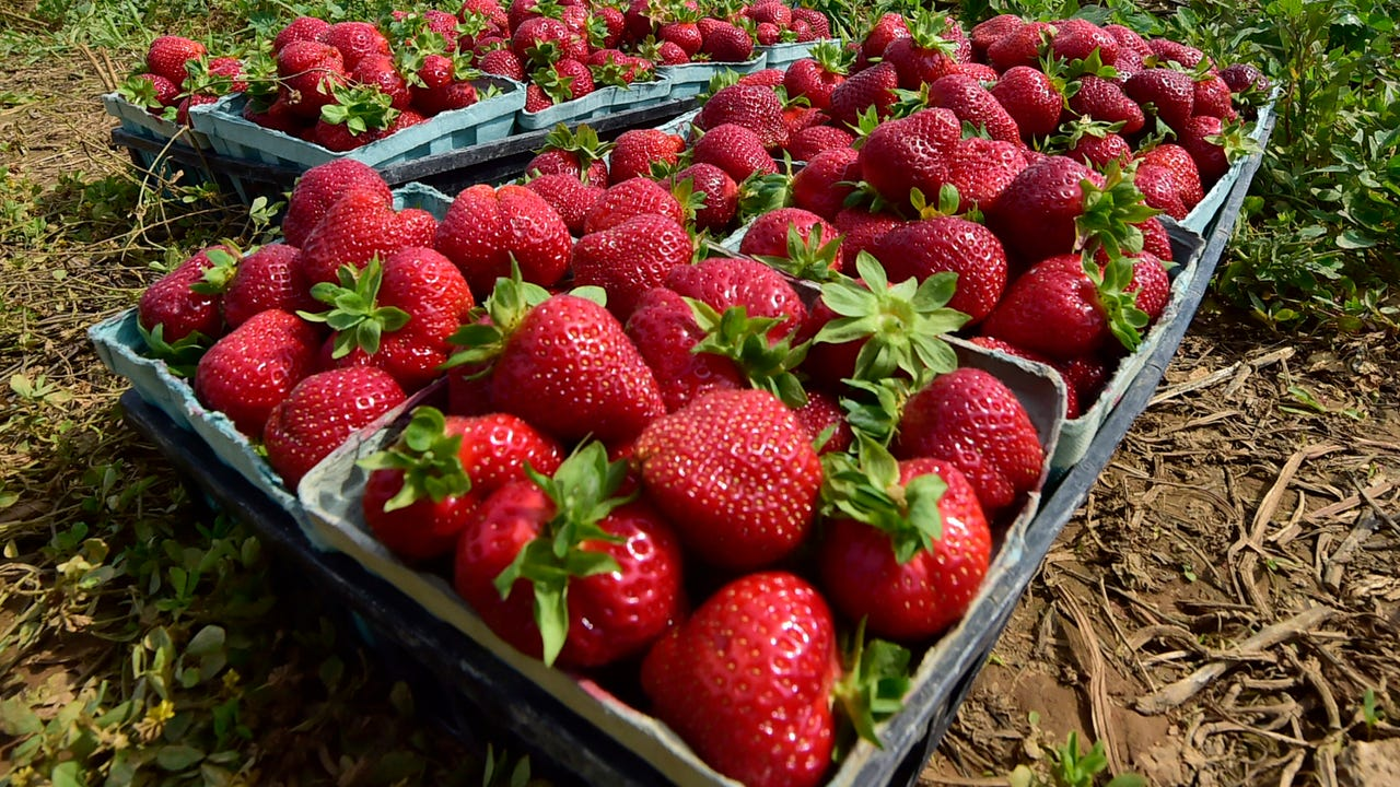 The Drying Shed has been a local favorite spot to pick your own strawberries in Franklin County for over 30 years. The Drying Shed is located at 1587 Newcomer Road, Chambersburg.