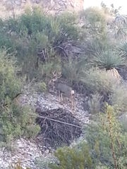 Photo of buck in Northeast El Paso shared by North Park neighbor.