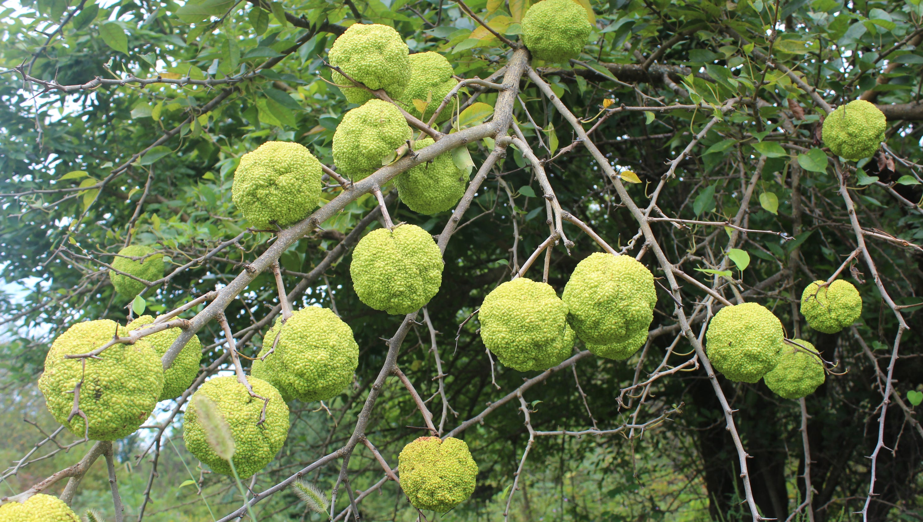 The Osage Orange Tree S Purpose Evolved As History Developed