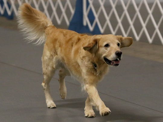 File - Z follows the commands of Sherri Farmer as they go through exercises at the Obedience Training Club Obedience Trial Saturday, Feb. 17, 2018, at the J.S. Bridwell Ag Center.