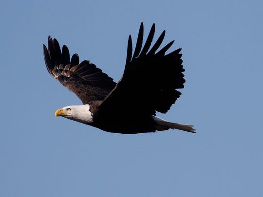 An adult bald eagle has a white head and tail. Juveniles are dark, with splotchy white in their feathers.