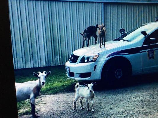 636687204524602556-Goats-on-police-car.jpg