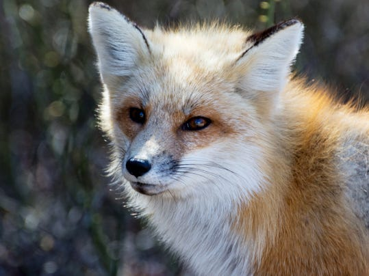 This kind of photo of a red fox is worth waiting for.