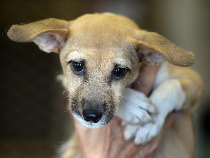 This female, terrier mix is available for adoption at the Animal Welfare Shelter at 1825 Chester Blvd. Call 765.962.8393 or email animalwelfareleague@yahoo.com for more information.