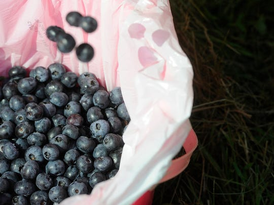 """""""Visitors filled their buckets with blueberries at Raven's Chestnut Sands Farm in Conewago Township on Friday, July 3, 2015.   Jason Plotkin - Daily Record/Sunday News"""""""