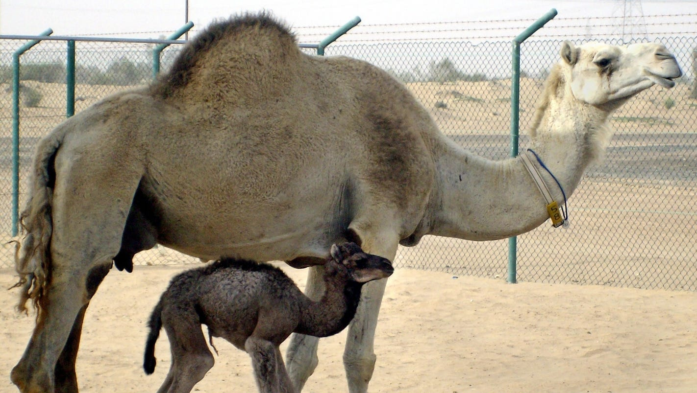 This hospital in Dubai specifically treats camels