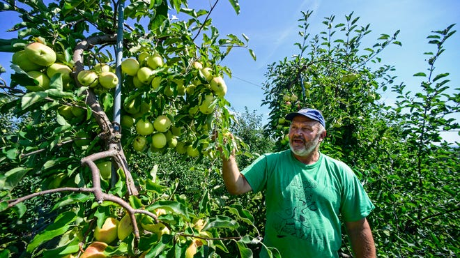 Town of Chenango resident Dave Johnson, owner of Apple Hills Farm, walks through his orchard. The apple trees are roughly 10-feet tall. Commercial growers have shifted their orchards to smaller trees that can produce as much fruit as older trees that were more than twice as tall.