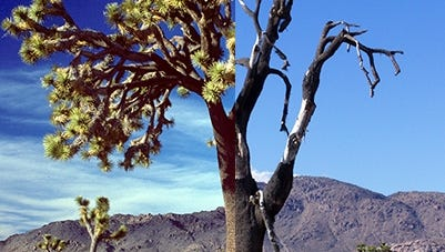 The death of a large Joshua tree is shown in Joshua Tree National Park.