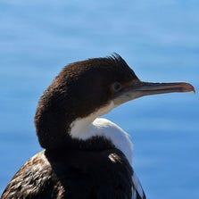Immature cormorant