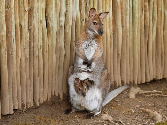 Torres, one of the wallaby's at the Blank Park Zoo in Des Moines, carries her new joey inside her pouch on Tuesday, May 3, 2016.