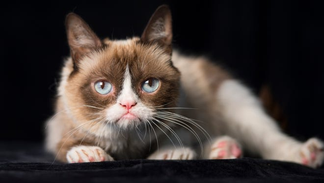 Glamour puss: Grumpy Cat sports her sour look for a photoshoot.