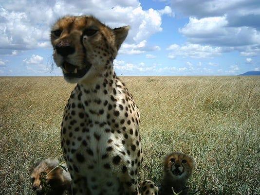 635696181419499419-cheetah