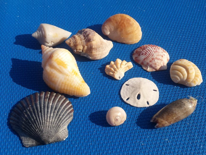 A small sampling of shells found on Pensacola Beach