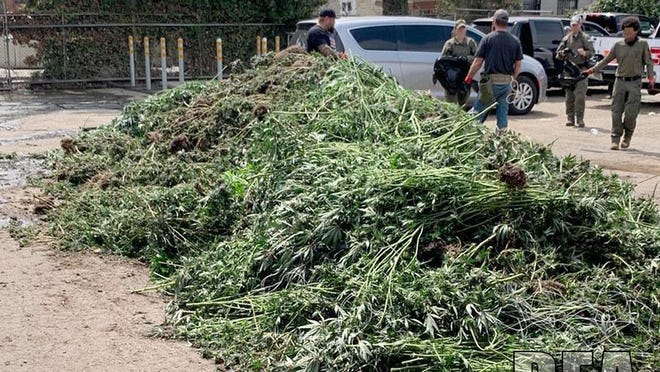 During Operation Apex, federal agents seized 18,000 marijuana plants.