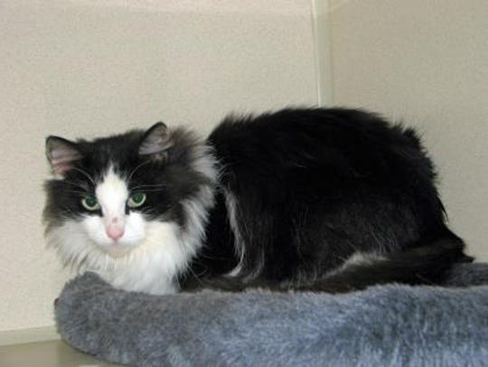 Zory is a beautiful black and white Domestic Longhair.