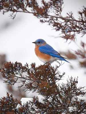 An eastern bluebird sits in a juniper tree Tuesday, Dec. 29, in Wright County's Suconnix Wildlife Management Area.