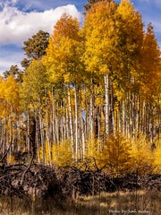 A stand of aspens at Hart Prairie north of Flagstaff