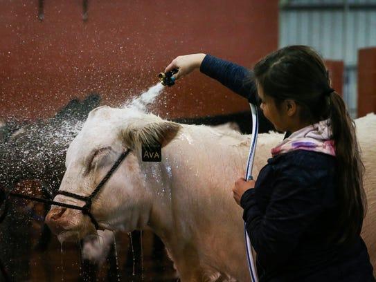 Calli Schmutz, 17, from Stephenville washes her heifer