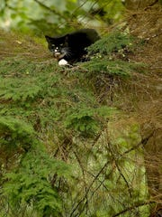 Sinatra the tuxedo cat became stuck in a dying fir tree in July just outside his Port Orchard home. MEEGAN M. REID / KITSAP SUN FILE