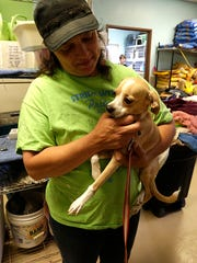Renee Webb of the Fond du Lac Humane Society holds Jax, a 3-month-old Chihuahua mix who has a broken hip as a result of being hit by a car. Webb retired recently from the shelter after 15 years of service.