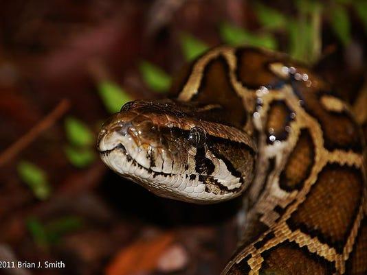 Burmese Python Tracking 070616