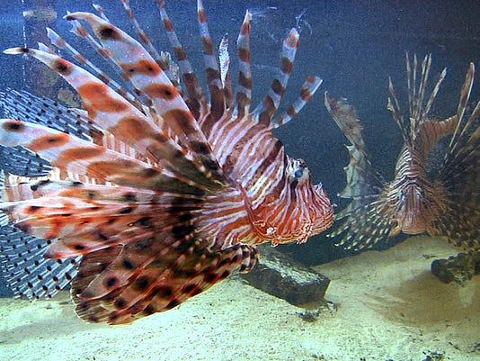Lionfish Florida Ban_Babi.jpg