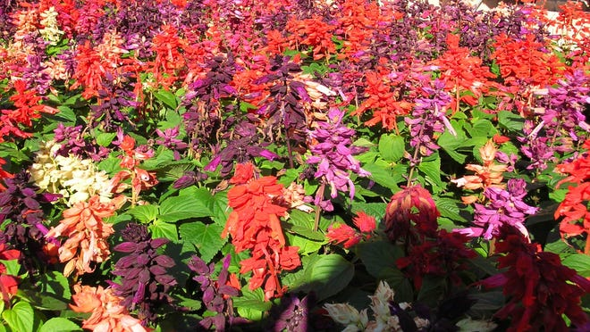 Hot stuff, varieties of S. splendens annual bedding salvias, are ready to hit the ground running for plenty of summer color.
