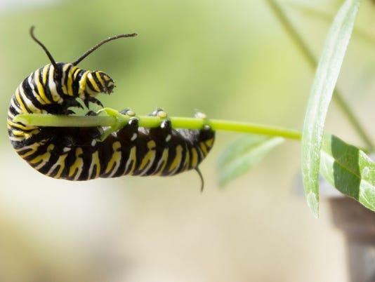 042614 PNI monarchs MAIN
