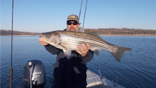 Although the movement of fish has changed due to the quick drawdown of the lake, if you find the shad, you will find the stripers.