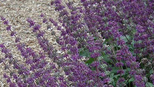 'Purple Rain' salvia has long-blooming purple spikes from spring into summer.