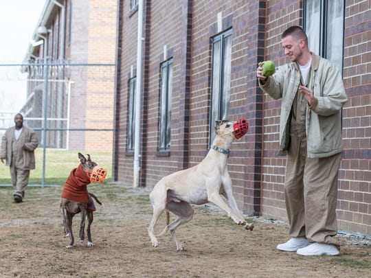 "Prison Greyhounds inmate-handler Josh Stephens, right, and Kyle Wilson , left, throw a toy football for dogs at Putnamville Correctional Facility in Greencastle, Ind. on Monday, March 19, 2018. Prison Greyhounds is an all-volunteer 501c3 nonprofit organization headquartered in Indianapolis. The program transports ""retired"" racing greyhounds from Daytona Beach to Putnamville Correctional Facility where they learn house manners from inmate-handlers before they are adopted upon completing the program."
