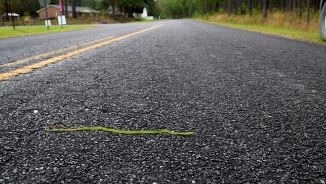 A common green snake safely crosses a highway during the pandemic.