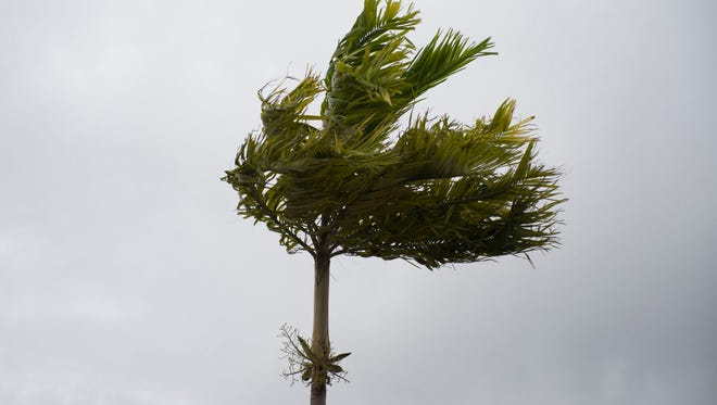 A palm tree sways on Thursday, Oct. 6, 2016 at the American Red Cross shelter at Hidden Oaks Middle School in Palm City. At the 5 p.m. advisory, Hurricane Matthew was 100 miles east-southeast of West Palm Beach with maximum sustained winds of 140mph.