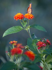 A butterfly perches on a lantana bloom at Peoria's