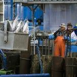 Crews unload fish from a fishing vessel in Astoria.