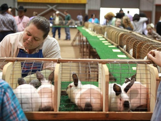 Judge Reanelle Harris of Boerne makes her way along the judging table examining Californian Meat Pen Rabbits during the Junior Rabbit Show inside the Spur Arena Friday at the 84th annual San Angelo Stock Show & Rodeo.