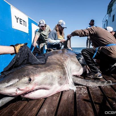 "Hilton the white shark is photographed during a ""Lowcountry"