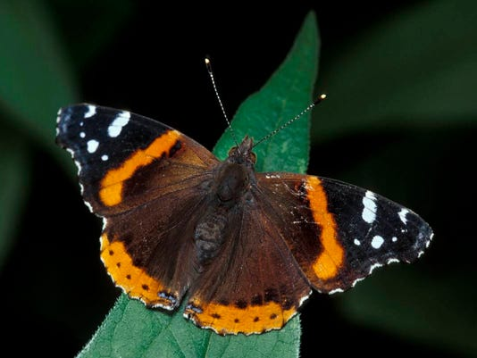 636384750651211784-Red-admiral-7.jpg