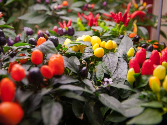 Ornamental potted chiles are available for purchase