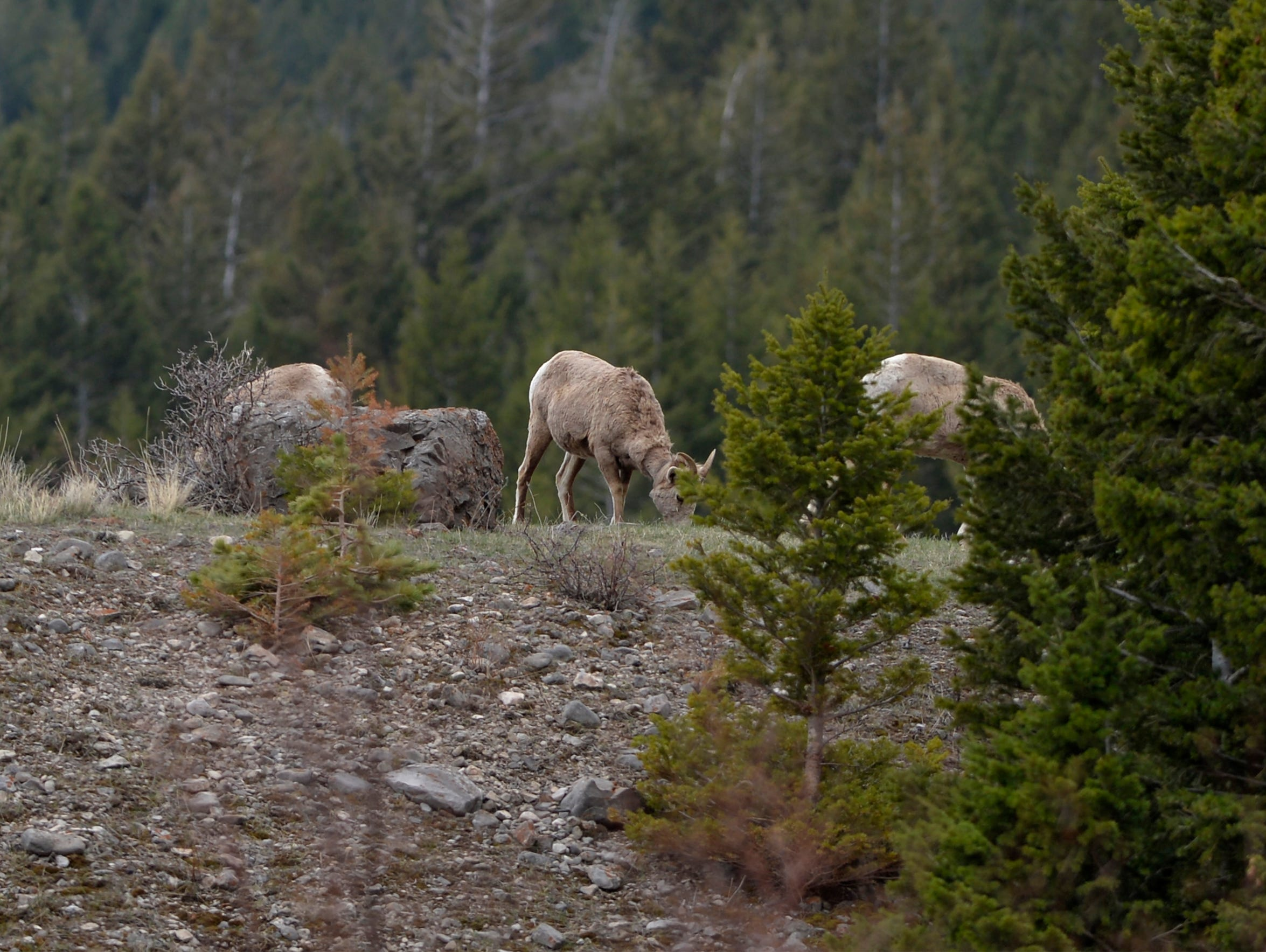 Bighorn sheep feed in a clearing in the Sun River Canyon