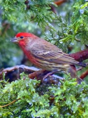 A house finch waits his turn at the feeder.